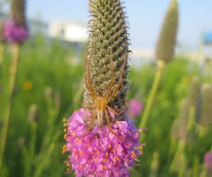 Crab Spider on Purple Prairie Clover