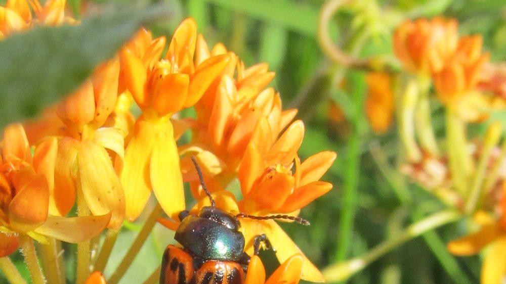 Milkweed Leaf Beetle on Butterfly Weed