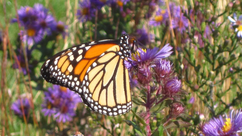 Monarch on New England Aster