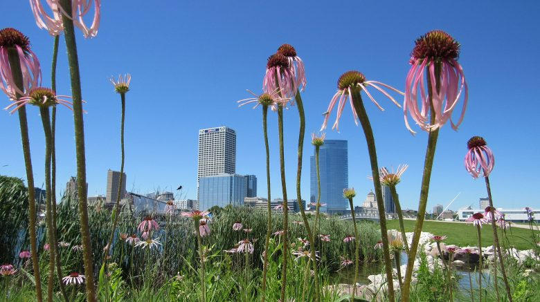Purple cone flowers blossom in Lakeshore State Park