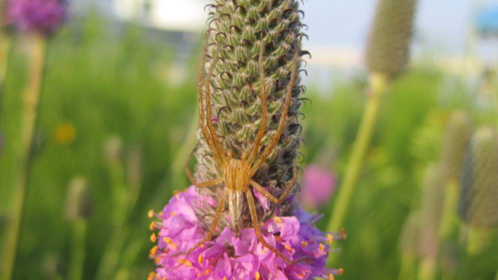 Crab Spider on Purple Prairie Clover
