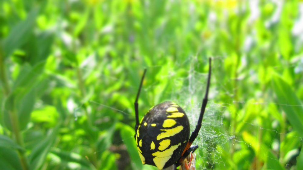 Golden Garden Spider
