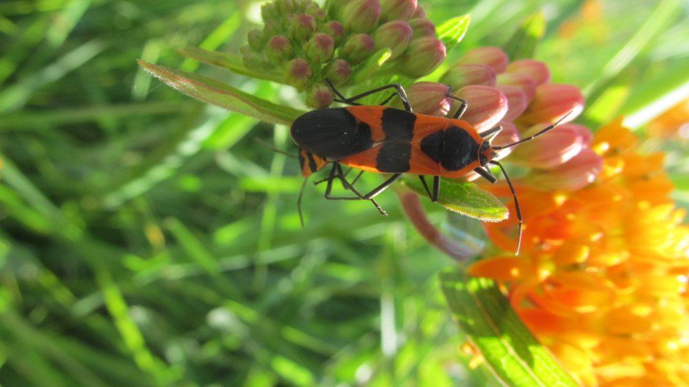 Milkweed Bug on Weed